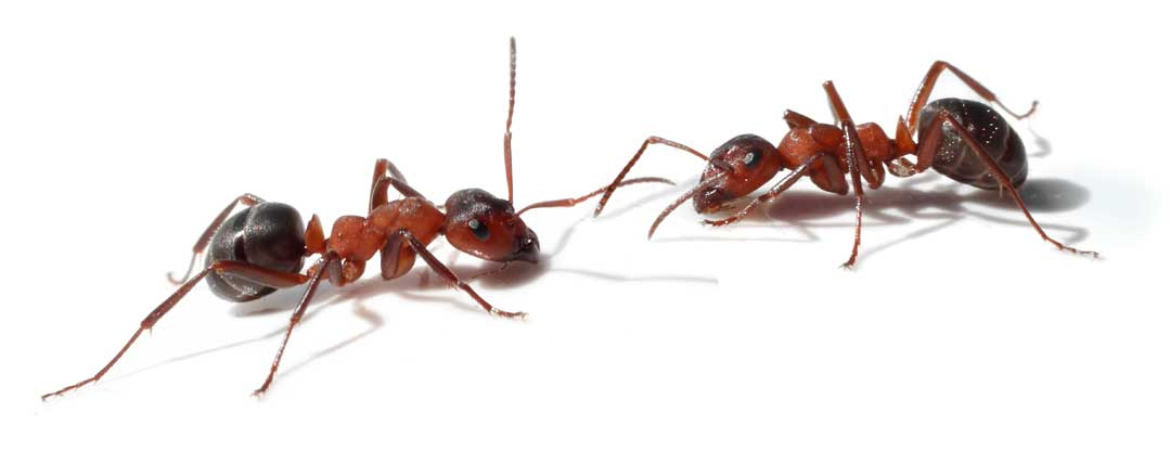 two ants